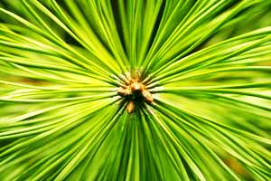 pine needles 3.jpg